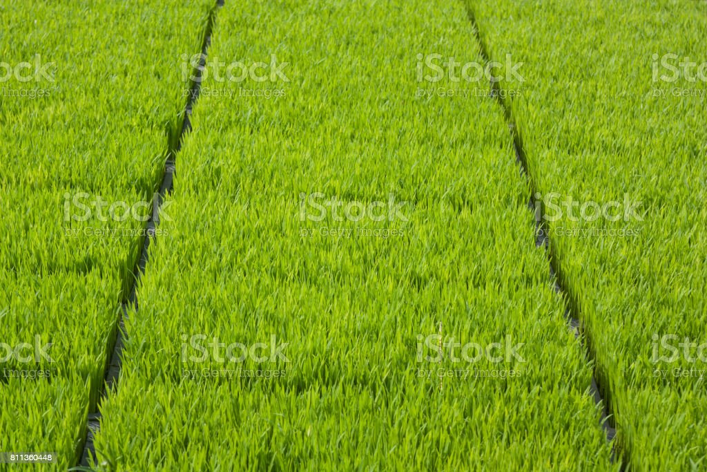 The cultivation of rice seedlings in plastic trays. stock photo