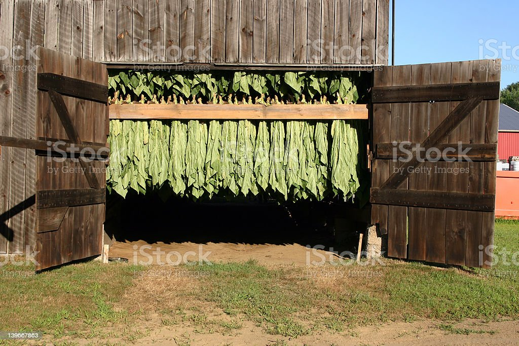 The Curing Barn - Tobacco Plants Drying royalty-free stock photo