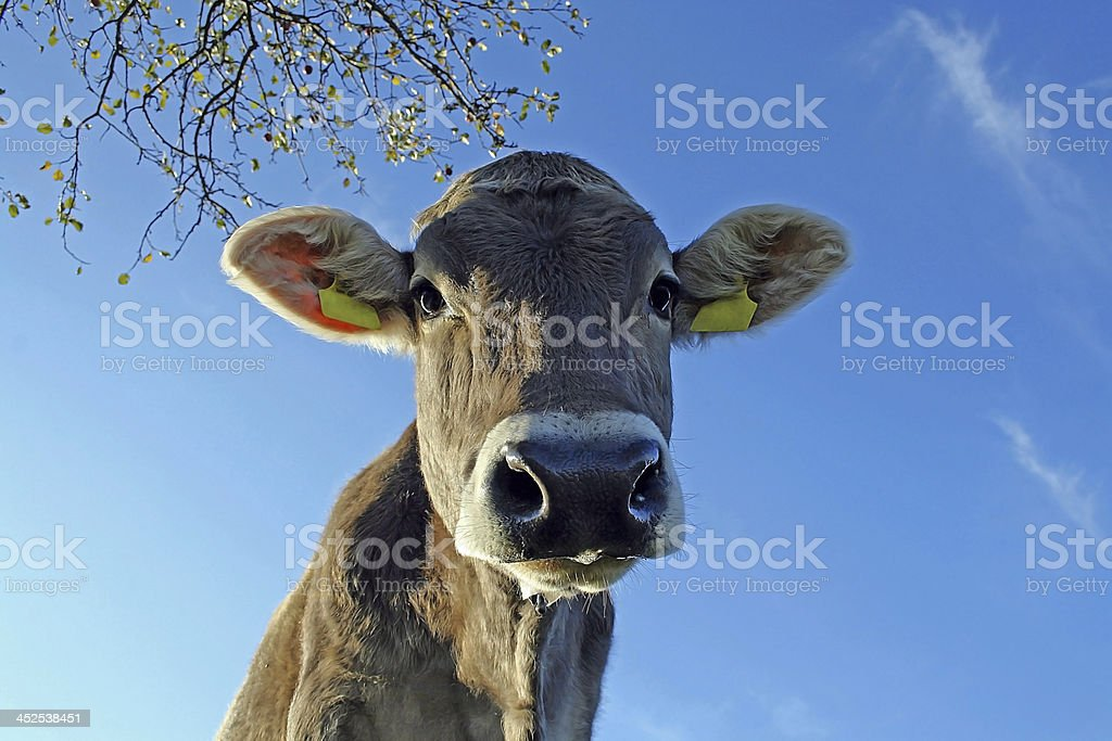 The curious cow stock photo