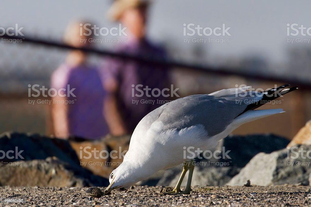 The Curious Gull royalty-free stock photo