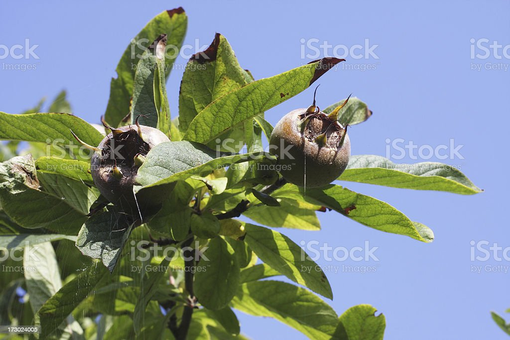 Medlar Mespilus germanica brown round and bawdy stock photo
