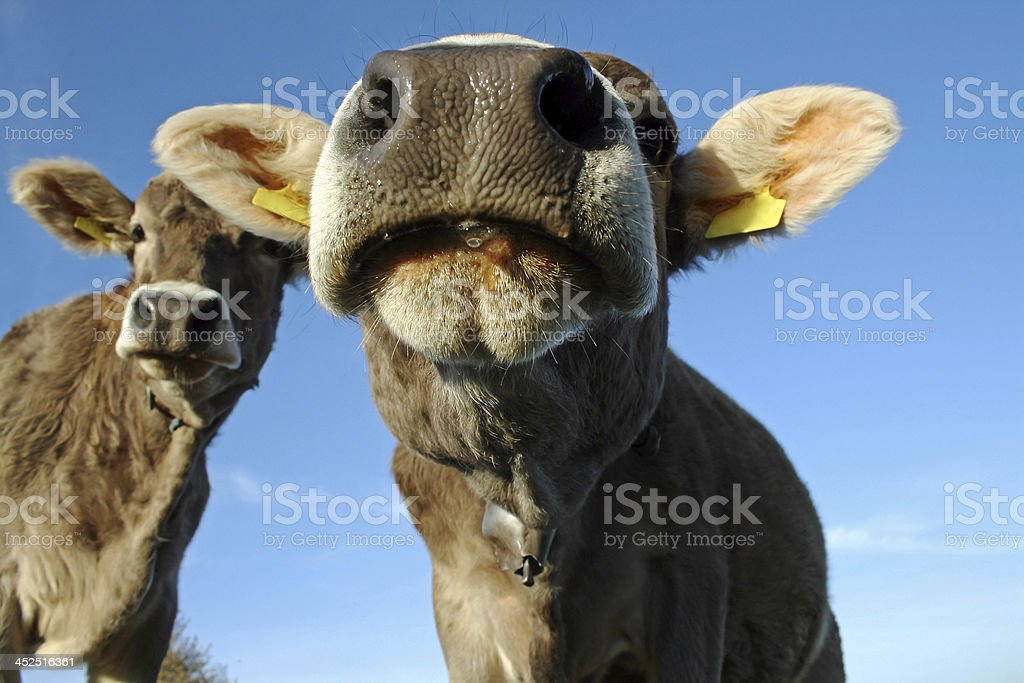 the curious young cow royalty-free stock photo