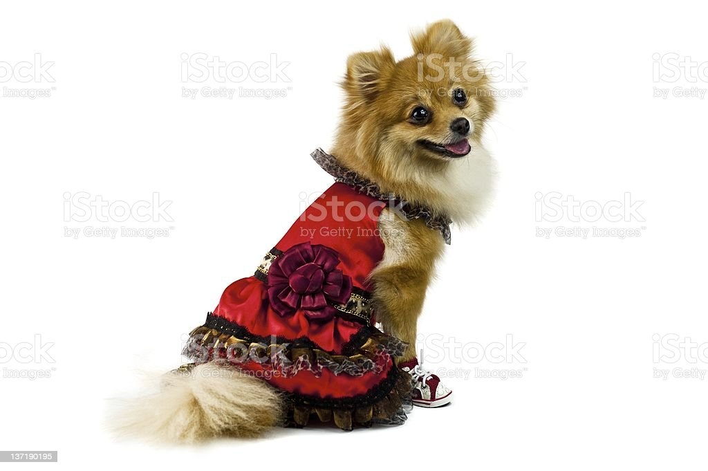 The cute Pomeranian dog over white royalty-free stock photo