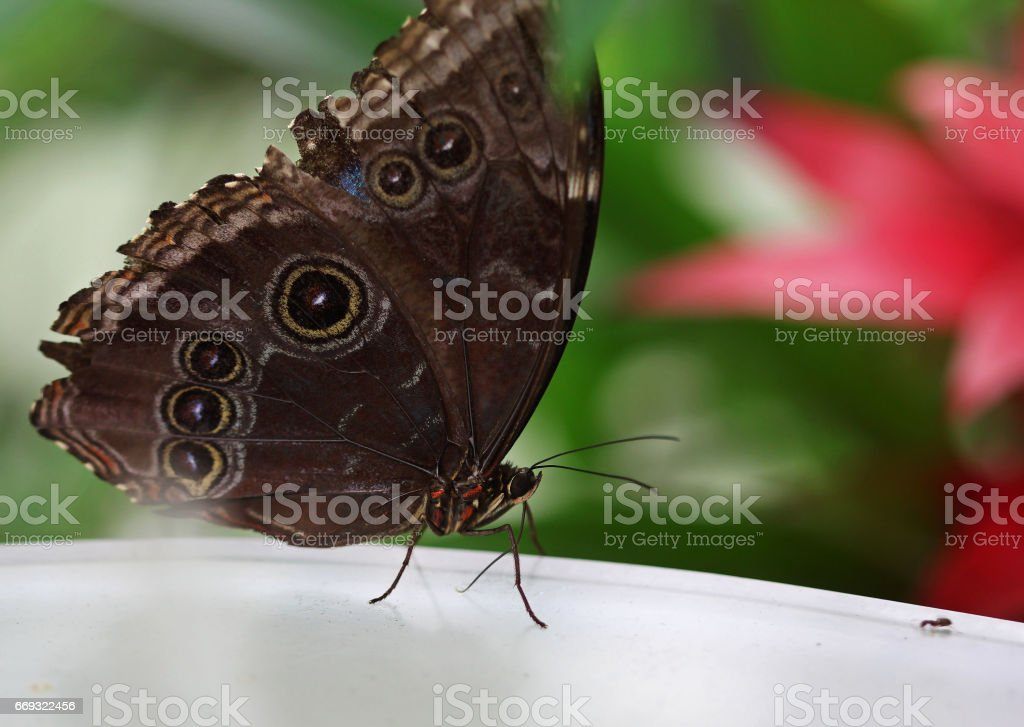 The dark brown butterfly with white rounds macro shot stock photo