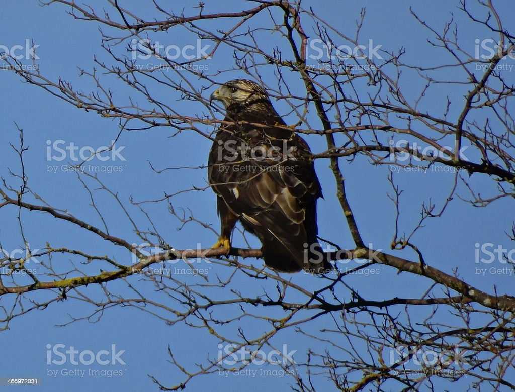 The Dark Eagle Hawk stock photo