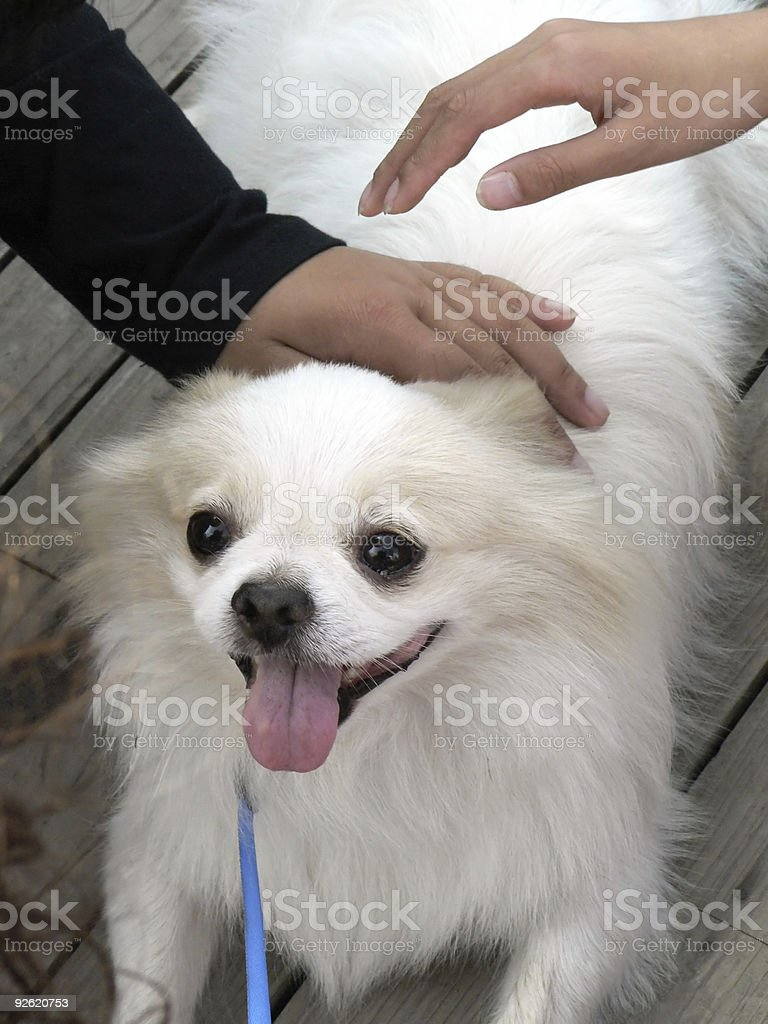 The darling white dog royalty-free stock photo
