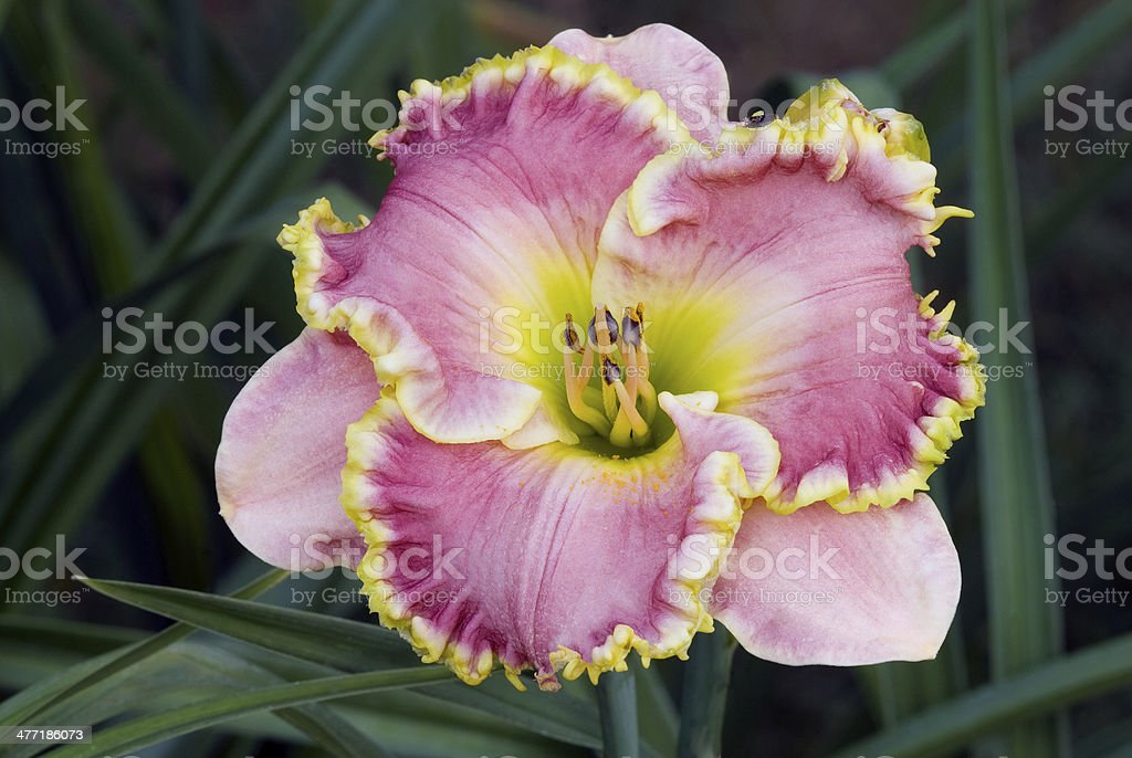The daylily, 'Leslie Renee' royalty-free stock photo