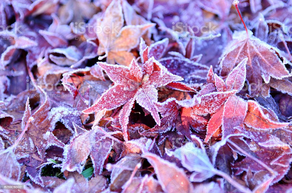The dead leaves which froze stock photo