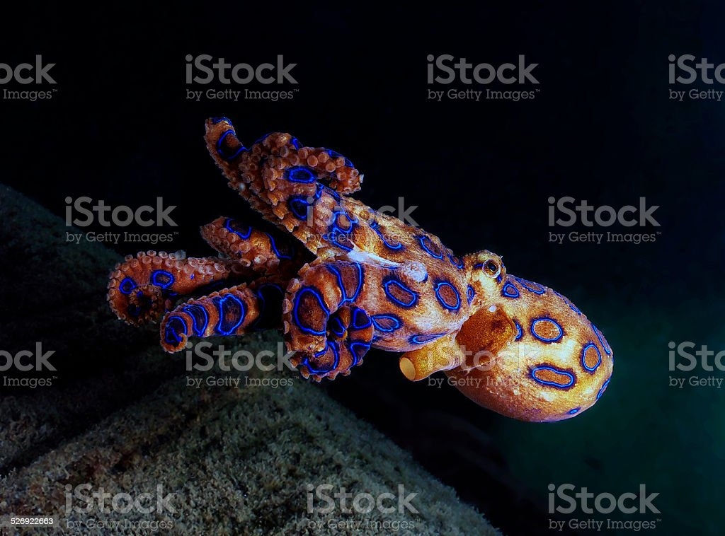 The Deadly Blue ringed octopus stock photo