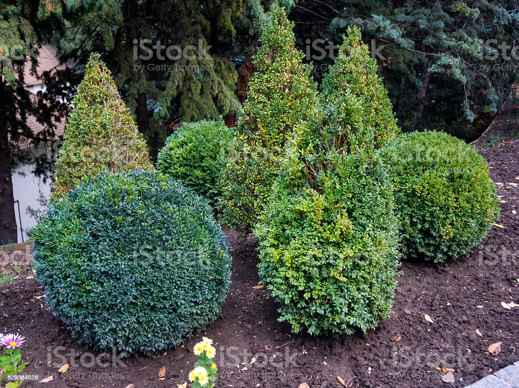The decorative shrubs haircut in the form of geometric shapes stock photo