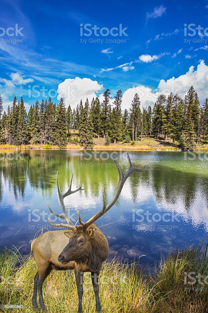 The deer antlered stands in multi-colored autumn woods stock photo