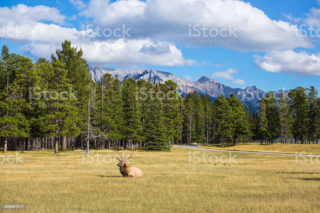 The deer has a rest stock photo