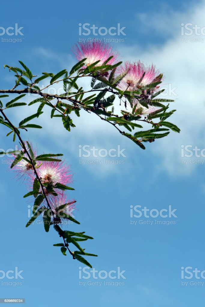 The delicate and exuberant pink powderpuff in bloom stock photo
