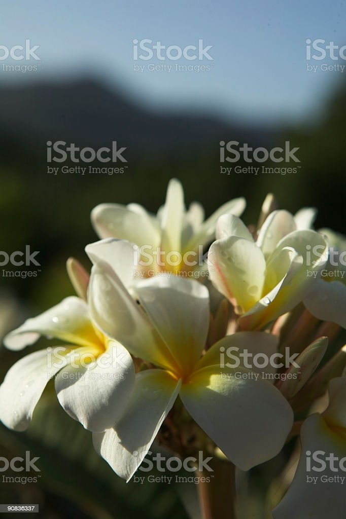 The Delicate Beauty of a Plumaria Tree Flower. royalty-free stock photo