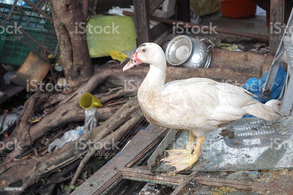 The dirty duck stock photo