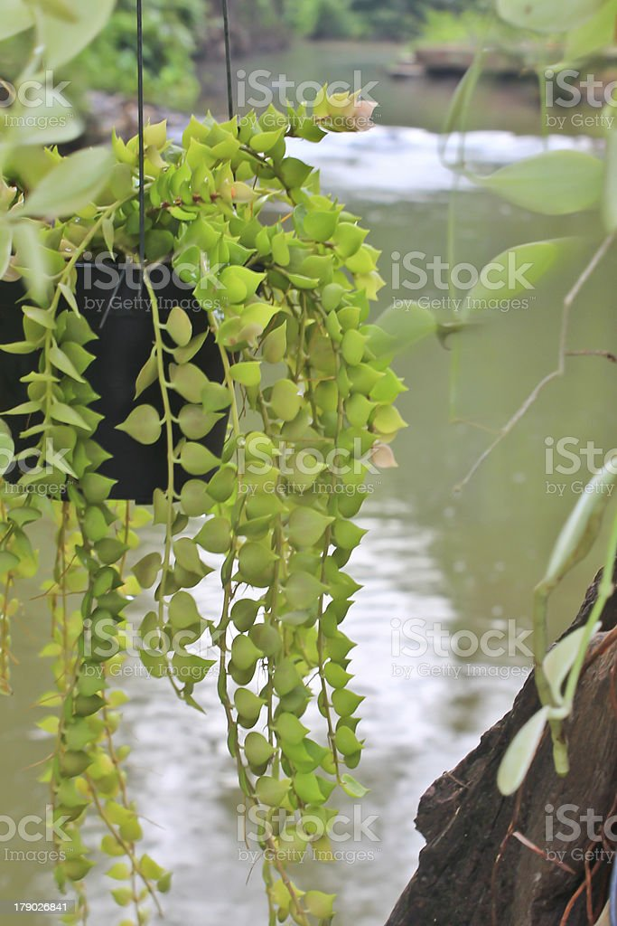 The Dischidia in front of Small watercourse stock photo