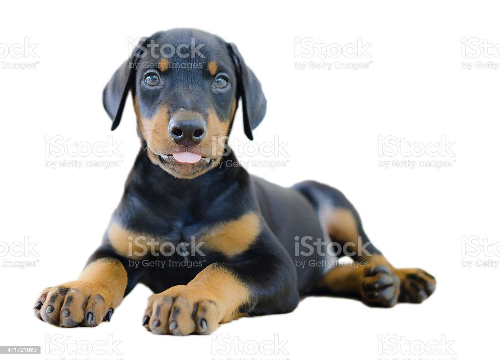 The Doberman Pinscher, royalty-free stock photo