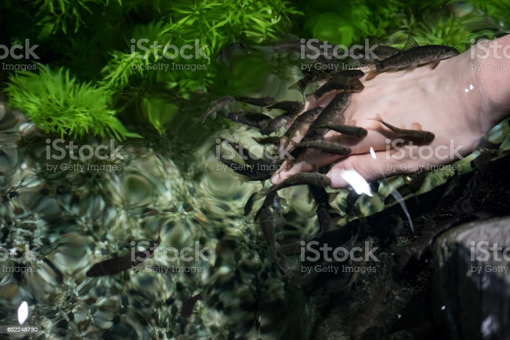 the doctor fishes (garra rufa) are swimming and cleaning the hand. stock photo
