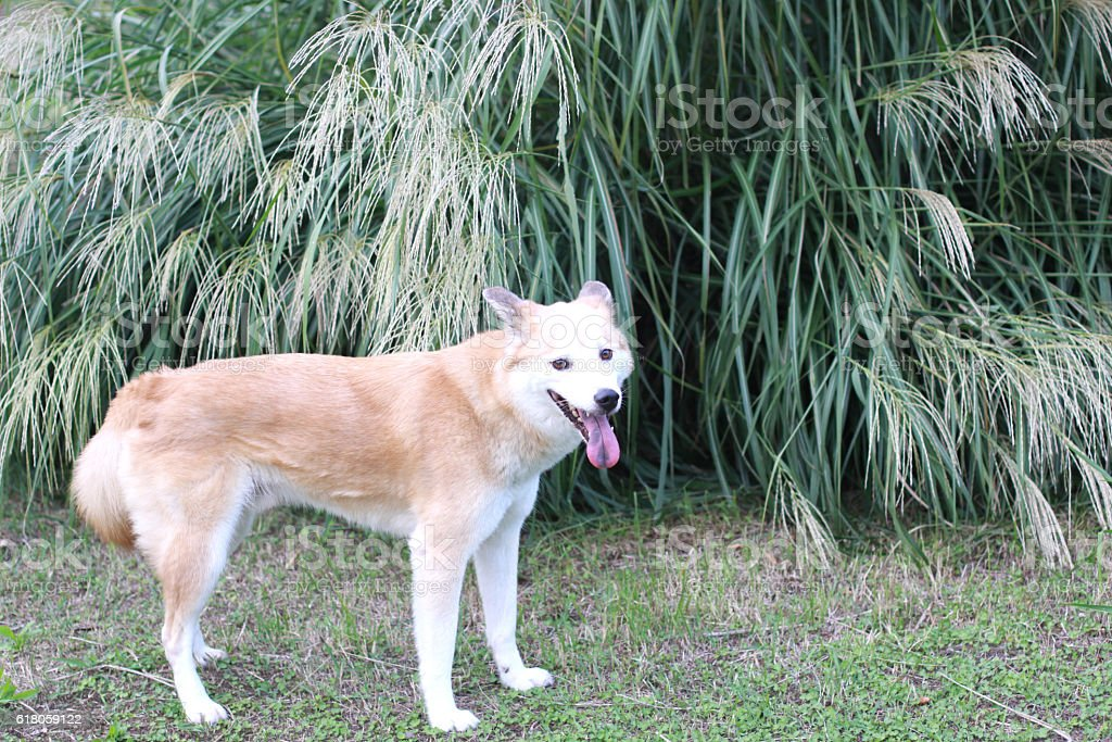 The dog and Japanese pampas grass stock photo