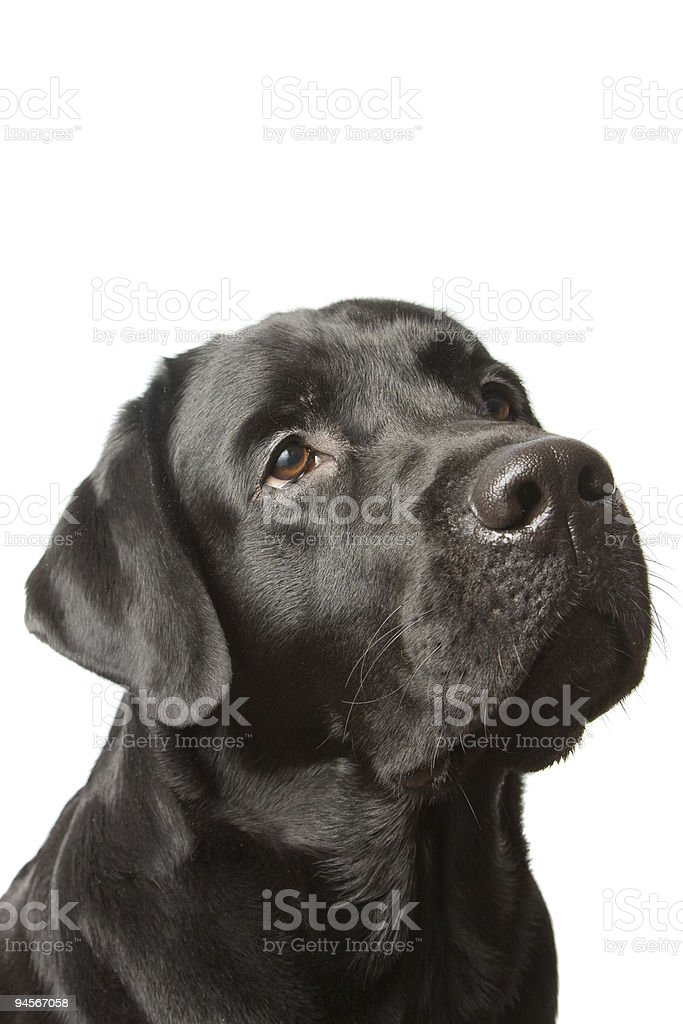 The dog black labrador isolated on white stock photo