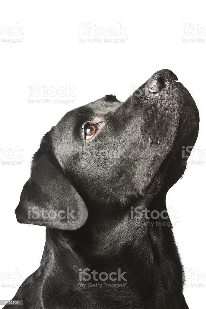 The dog black labrador looks upwards. isolated on white stock photo
