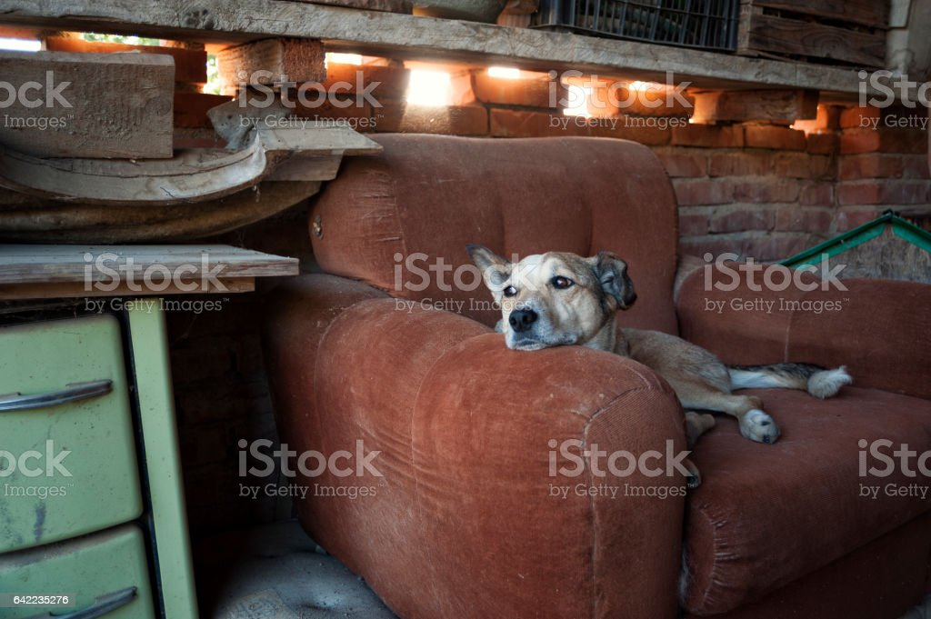 the dog dozes in his armchair, glancing away stock photo