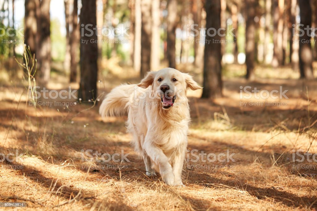 The dog is a labrador in the forest. Friendly dog. against the...