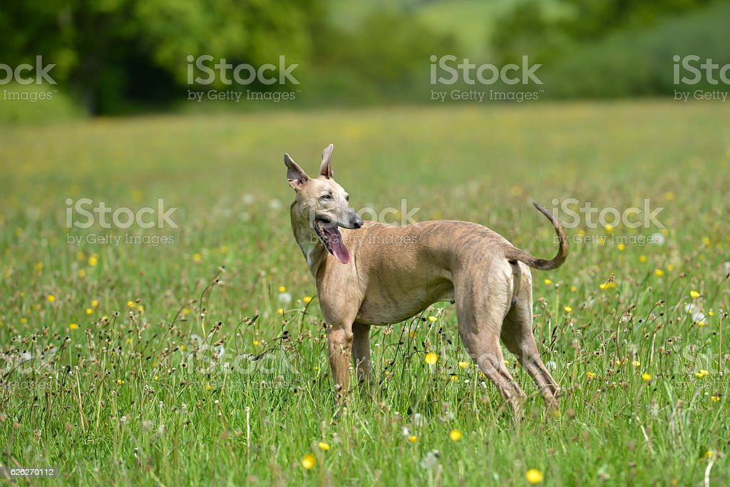 The dog is in the meadow. stock photo