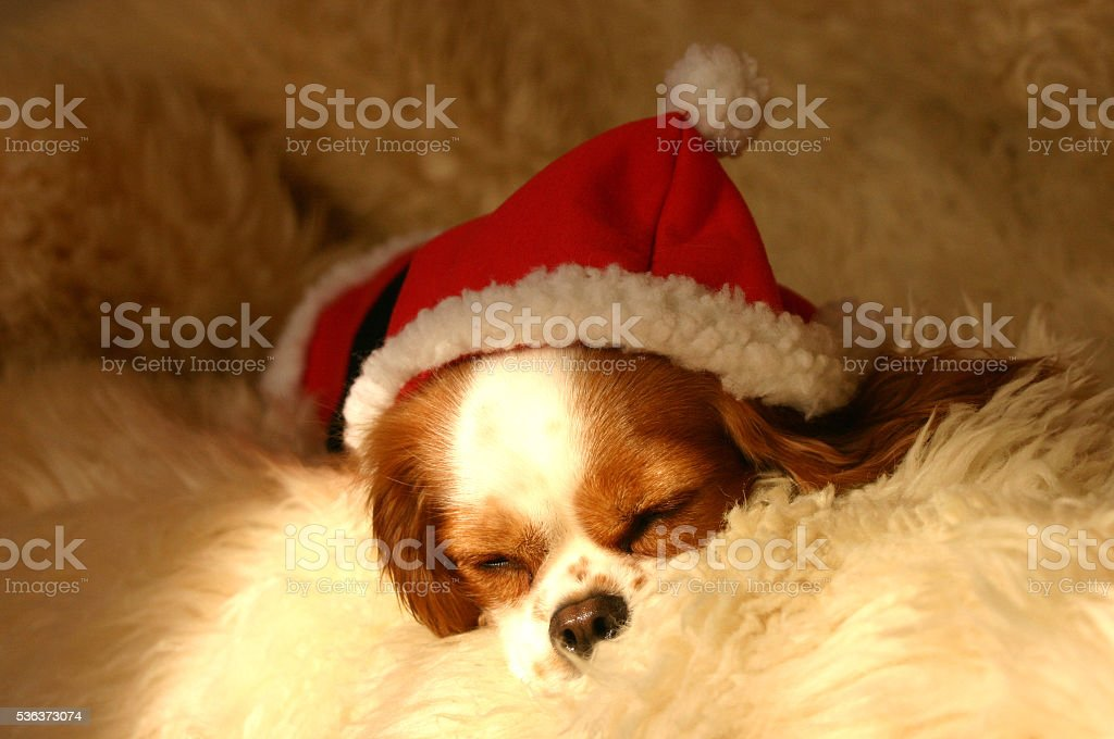 The dog is wearing a Christmas costume. stock photo