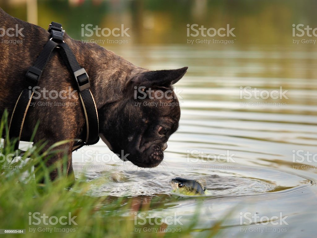 The dog looks at the fish in the water stock photo