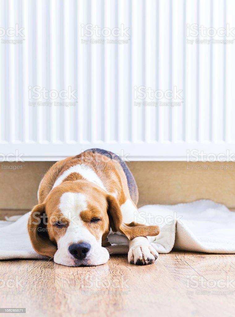 The dog  near to a warm radiator royalty-free stock photo