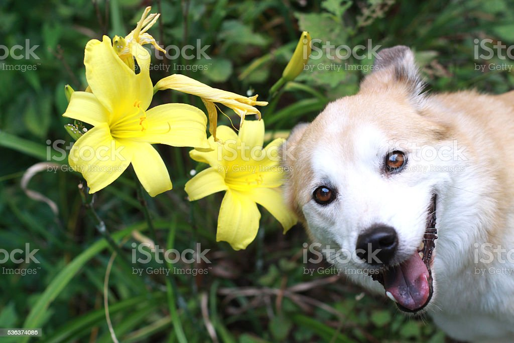 The dog of the smile and flowers stock photo