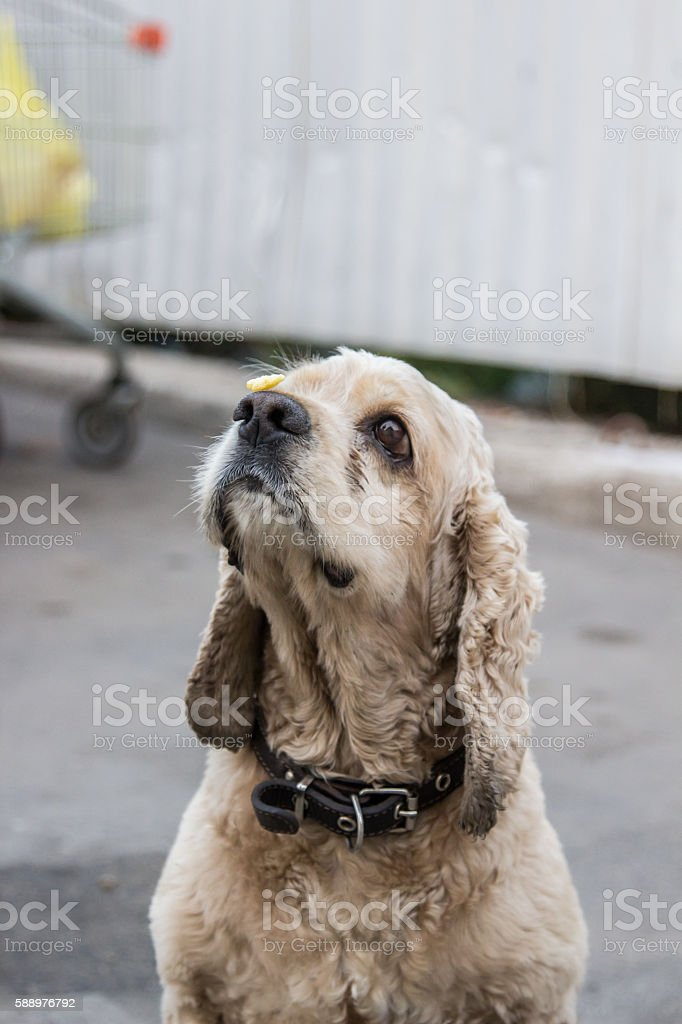 The dog shows restraint stock photo