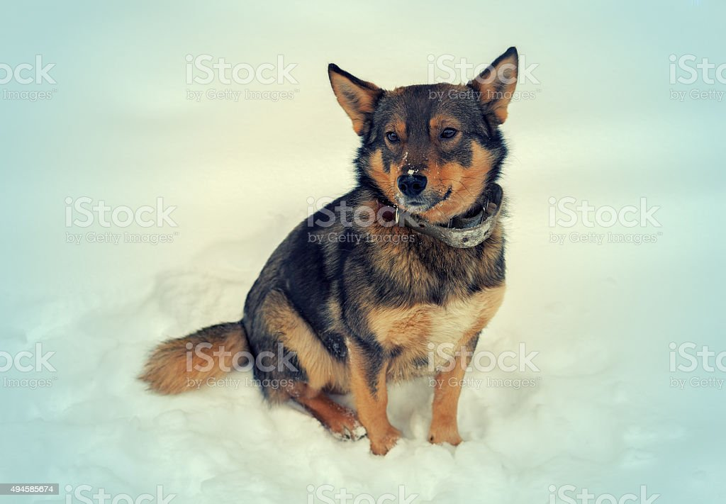 The Dog sitting on the snow outdoors stock photo