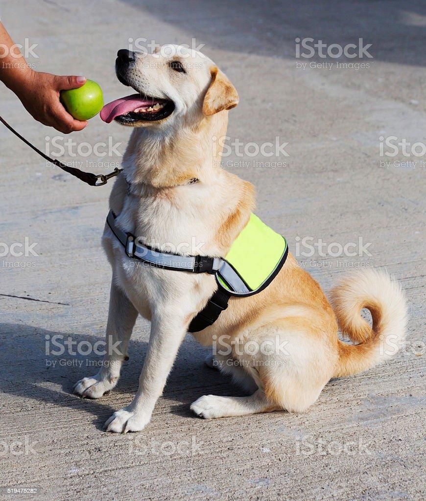 The dog-policeman . stock photo