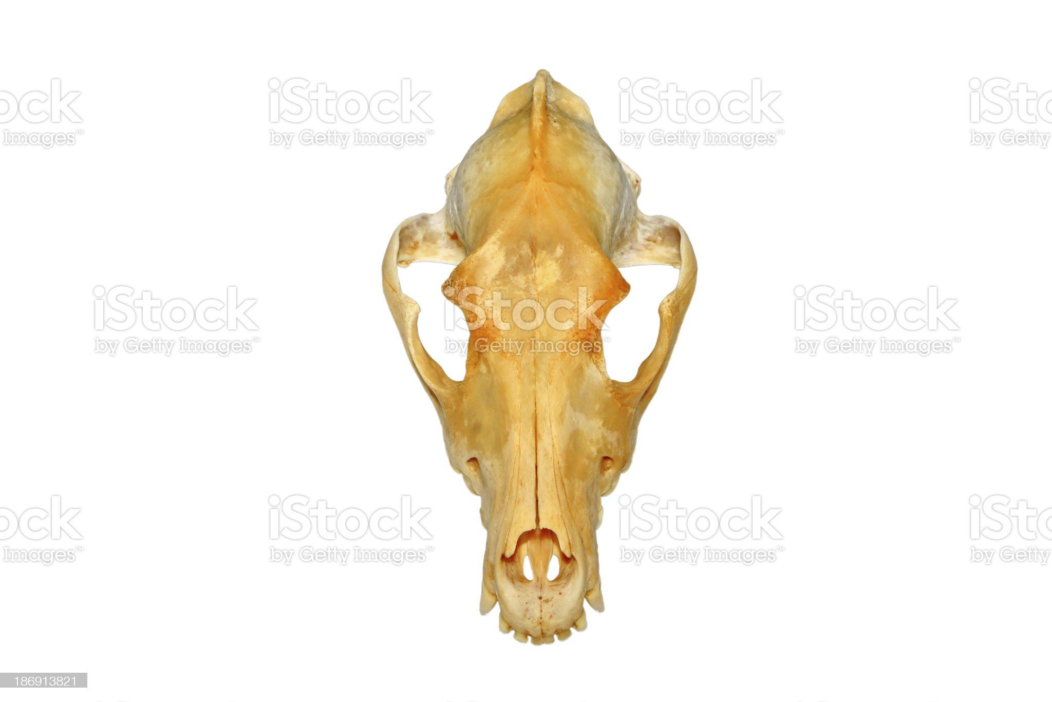 the dog's skull royalty-free stock photo