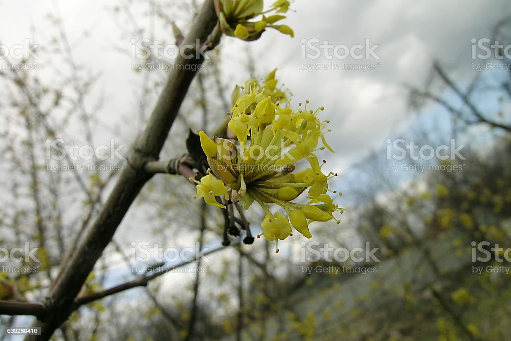 the dogwood and yellow flowers stock photo