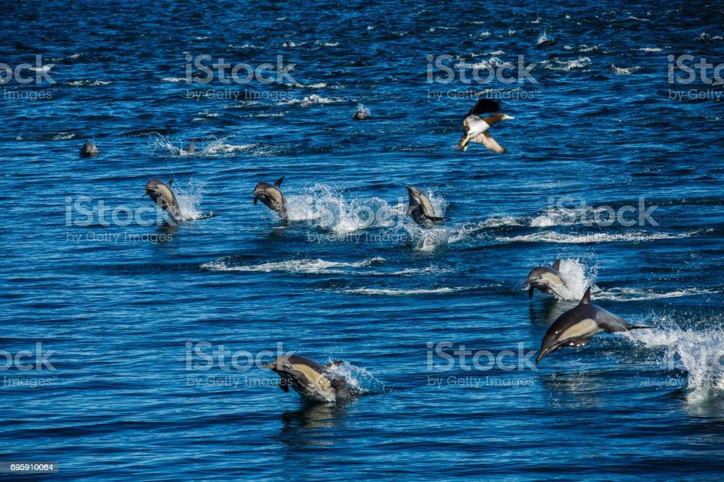 The dolphins of Baja California stock photo