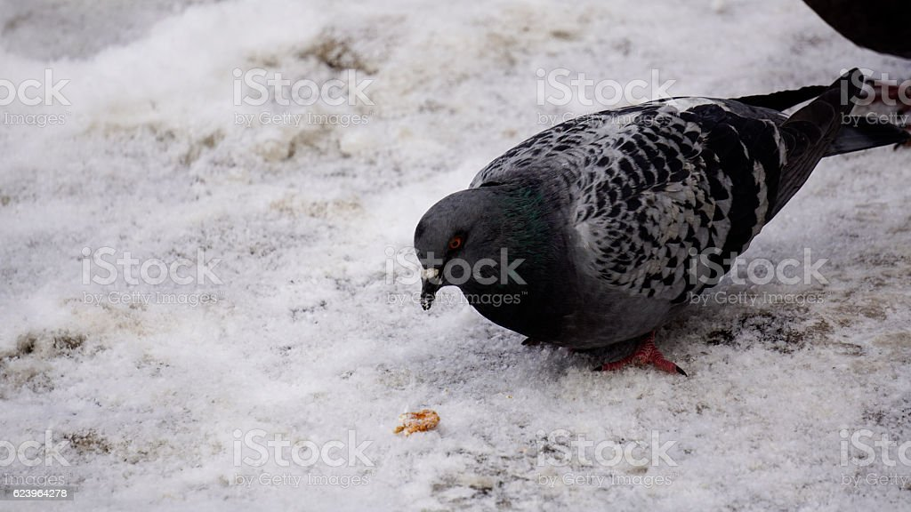 The dove in the snow, the bird in the winter, stock photo