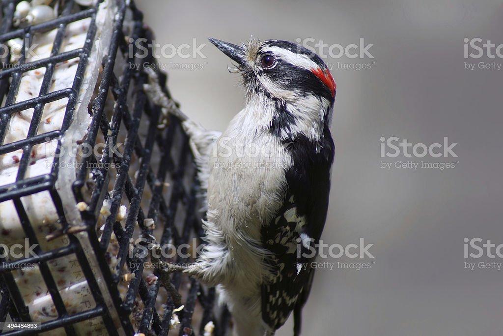 The Downy Woodpecker on birdfeeder stock photo
