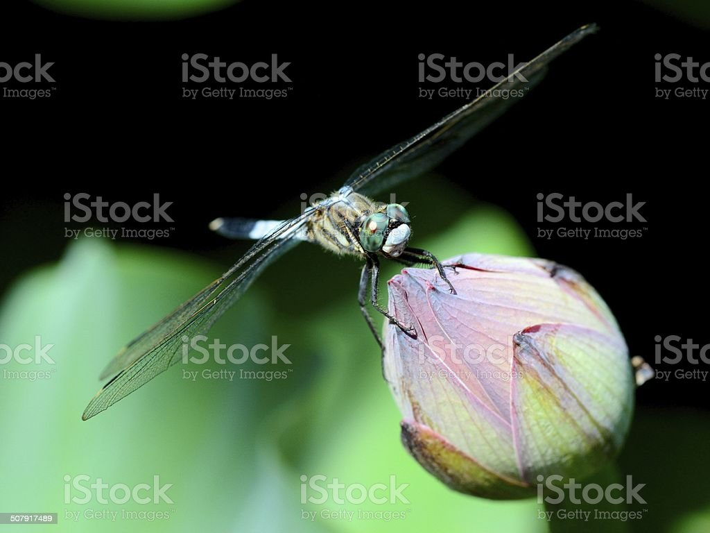 The dragonfly and the bud of the lotus. royalty-free stock photo