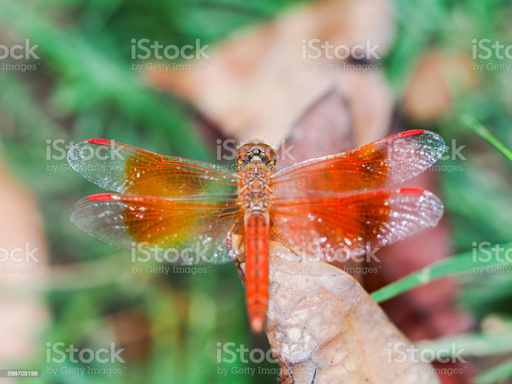 The Dragonfly. stock photo