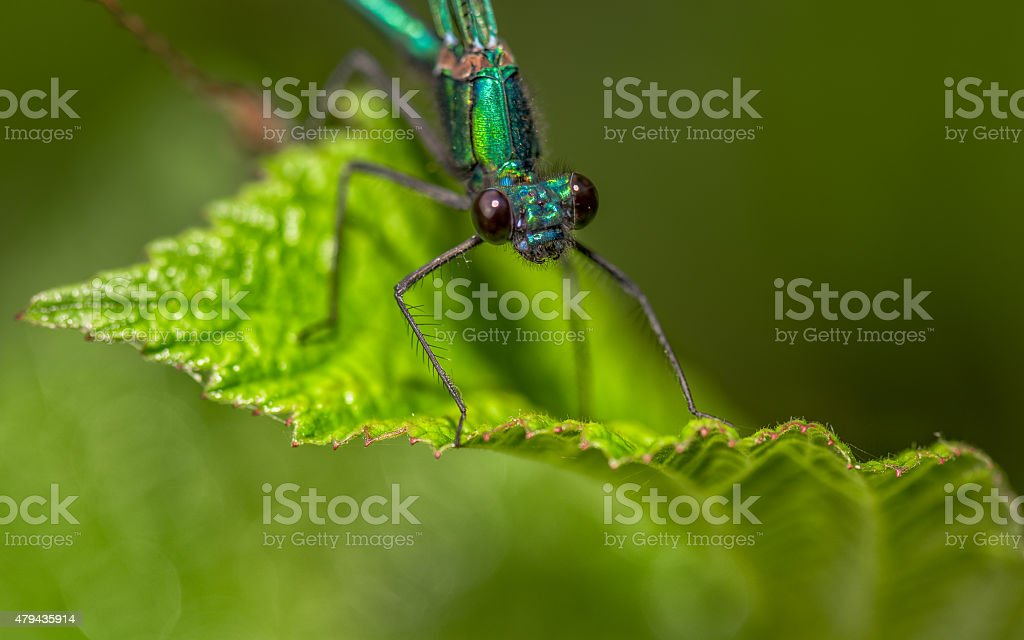 the dragonfly sits on a grass on a meadow stock photo