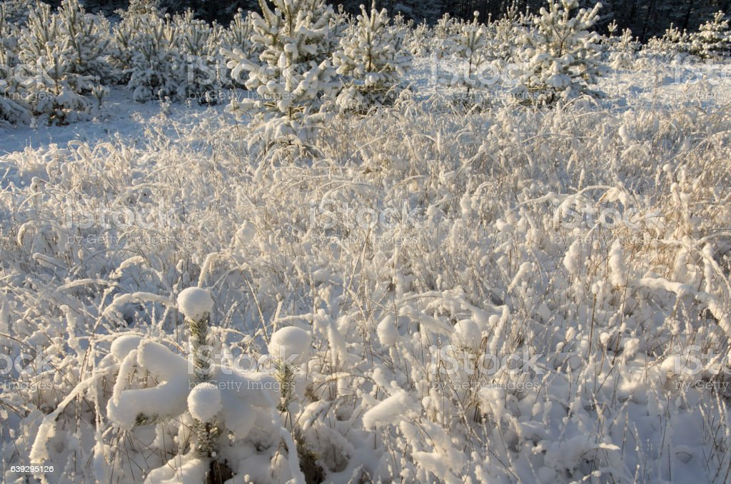 The dry grass brought by snow stock photo