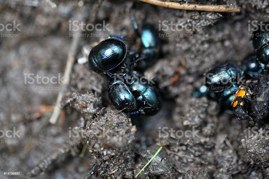 The dung beetles Anoplotrupes stercorosus stock photo
