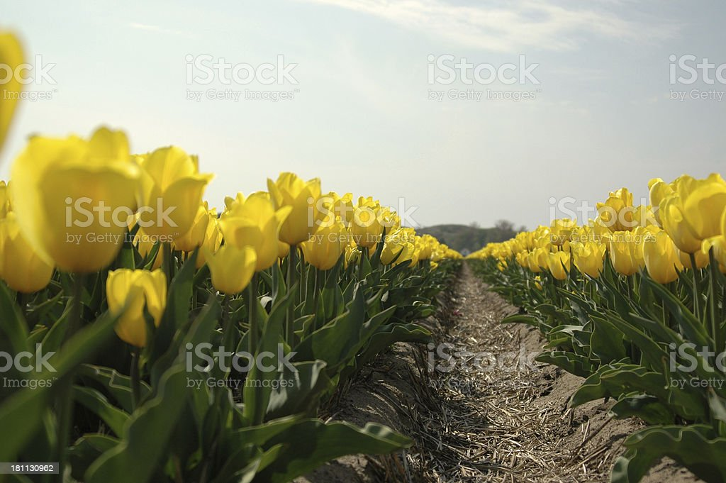 The Dutch Tulip fields royalty-free stock photo