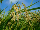 The ears of rice before harvest under the blue sky