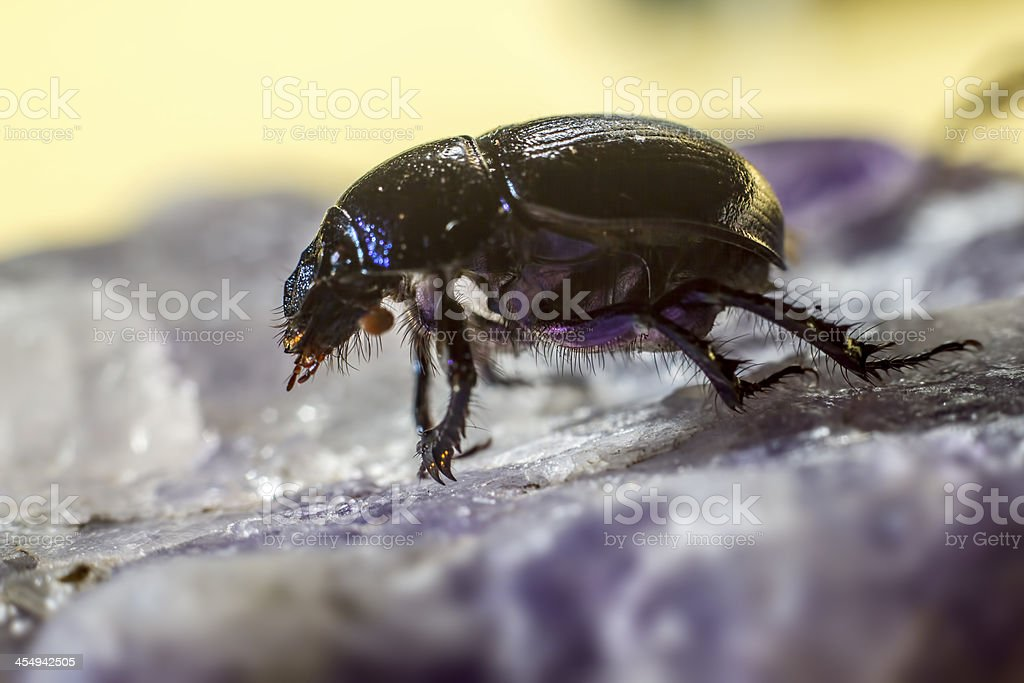 The earth-boring dung beetle, Geotrupes stercorarius royalty-free stock photo