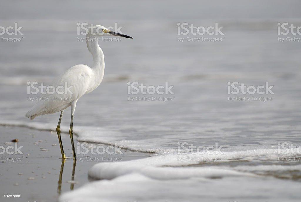 the ecuadorian white heron royalty-free stock photo