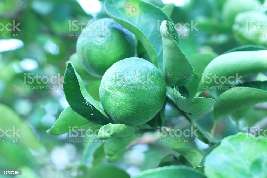 The effect of lime green lemon trees with dense foliage stock photo